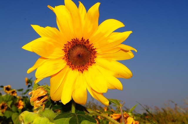 sardegna-fiore-girasole.jpg